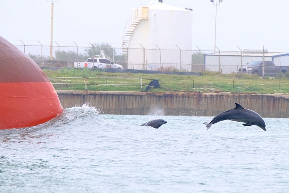 Port Aransas,tx, pictures,dolphin,jump,ship,water,beach,photo,pic,image,wildlife,channel,birds,